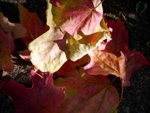 Fall Leaves for Crafts