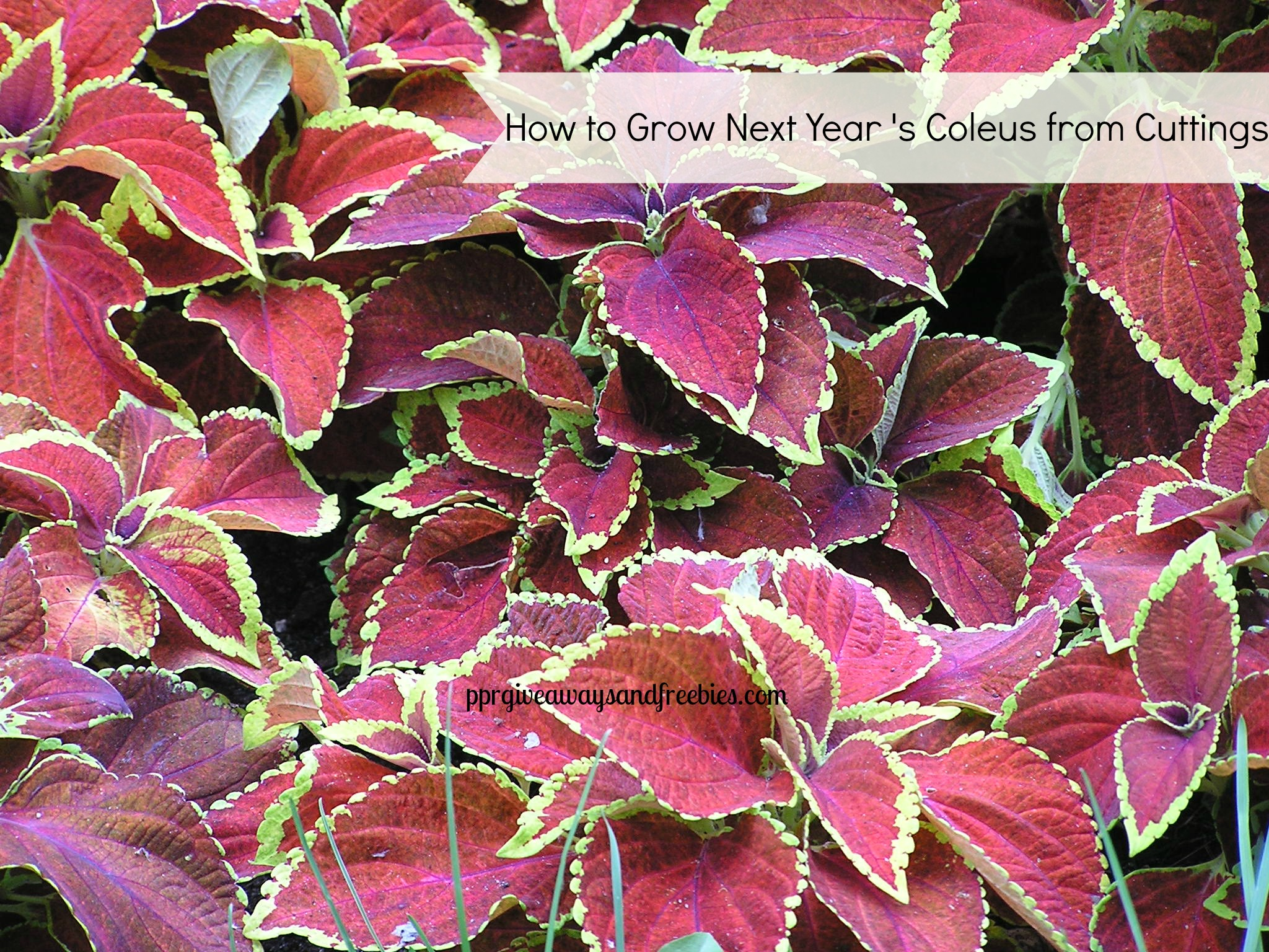 Grow Next Year's Coleus from Cuttings
